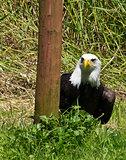 Hiding Eagle