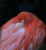 Sneaky Flamingo