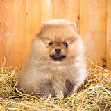 Pomeranian puppy on a straw