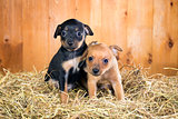 Two Russian Toy Terrier puppies