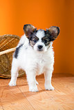 Papillon Puppy on a orange background
