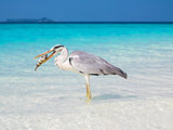 Great white pelican eating a fish