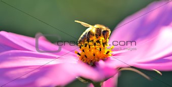 Bee in a pink flower