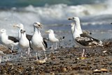Black-backed gulls on the beach