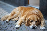 Golden retriever rests