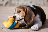 Playing Beagle puppy