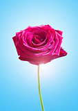 Single Pink Rose