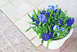 Hyacinths and blue viola flowers