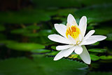 Pure white lotus