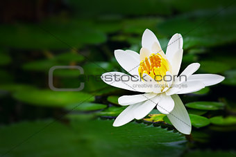 Pure white lotus