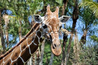 Close up of a reticulated giraffe