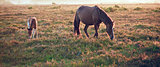 New Forest pony mare and foal bathed in sunrise light in landscape