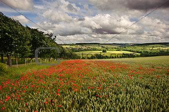 Poppy field in English countryside landscape
