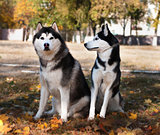 Husky dog pedigrees