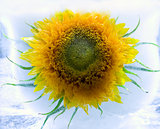 sunflower in ice