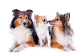 shetland dogs and chihuahua