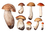 set of boletus