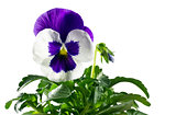 closeup pansy on a white background