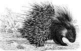 Crested Porcupine