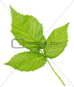 Three leaves of raspberry