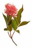 Red flowering black elder