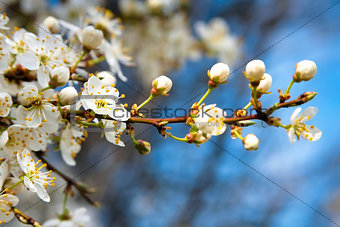 Blossoming apple tree with white flowers on blue sky
