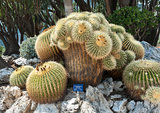 Oldest and unique in Europe Echinocactus grusonii