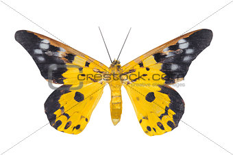 Day moth butterfly