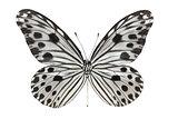 Butterfly (Idea lynceus)