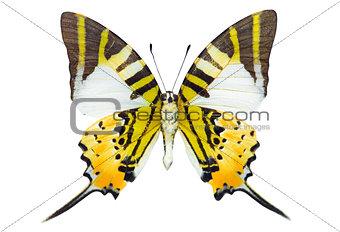 Swordtail butterfly