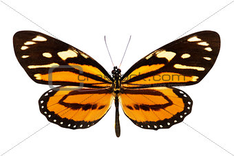 Butterfly (Lycorea ceres)