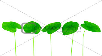 Green yam leaf collection