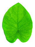 Yam leaf