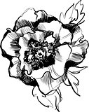 a sketch of a beautiful blooming peony flower