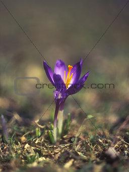 Saffron.