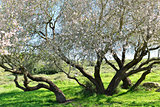 Big almond tree in bloom