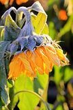 cold Sunflower