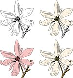 Flowers Anise Magnolia