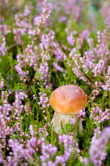 Small mushroom in heather