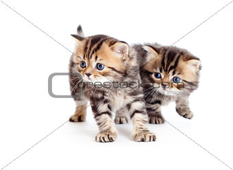 two british kittens isolated on white