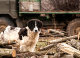 Young sheepdog in village
