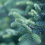 Spruce