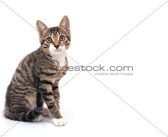 striped gray kitten sitting looking at the camera