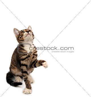 striped gray kitten sitting looking up