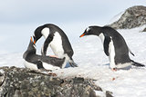 Curious Gentoo Penguin