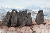 Group of Adelie penguins chicks.