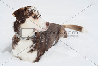 Husky Dog laying in The Snow.