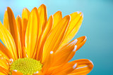 Orange chrysanthemum on a blue background
