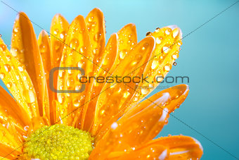 Orange chrysanthemum with water droplets on a blue background