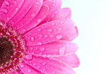 Pink gerbera daisy with water droplets on white background with copy space
